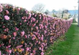 Çit Gülleri